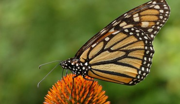 Animals monarch butterflies HD wallpaper