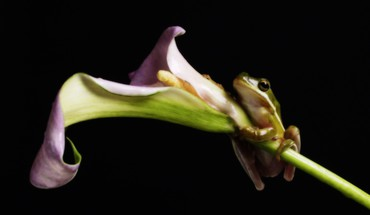 Amphibians frogs hanging lilies HD wallpaper