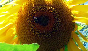 Summer sunflower HD wallpaper
