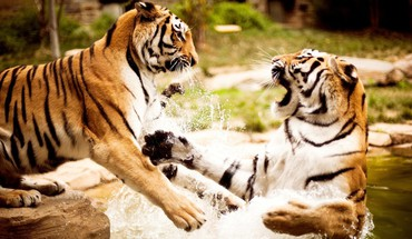 Tigers spielen  HD wallpaper