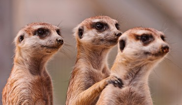 Animals funny meerkats HD wallpaper
