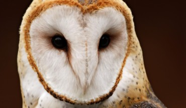 Australian animals barn owl nature owls HD wallpaper
