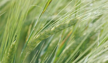 Macro wheat HD wallpaper