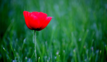 Nature flowers grass red poppies HD wallpaper