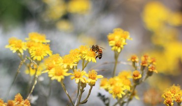 Nature flowers bees yellow HD wallpaper