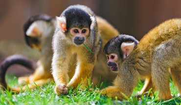 animaux de la nature des singes  HD wallpaper