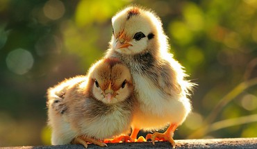 Chicks HD wallpaper