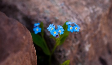 Flowers macro forget-me-nots blue HD wallpaper