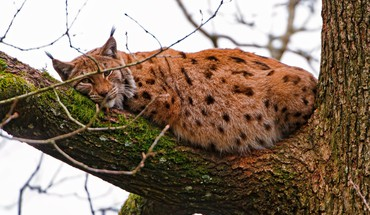Tiere Luchs  HD wallpaper