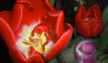 Star tulip HD wallpaper