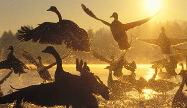 Sunrise birds silhouette canada sunlight water drops geese HD wallpaper