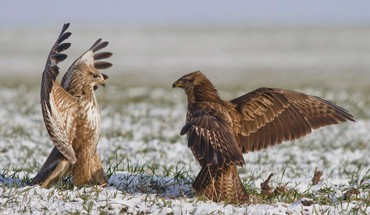 At me bro hawks red tail hawk HD wallpaper