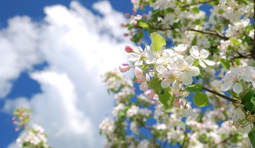 Blossom HD wallpaper