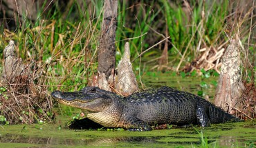 Animaux alligators reptiles  HD wallpaper