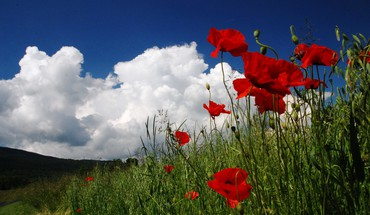 Poppies in field HD wallpaper