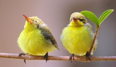 Yellow birds HD wallpaper