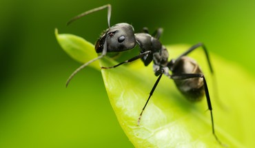 Black ant on a leaf HD wallpaper