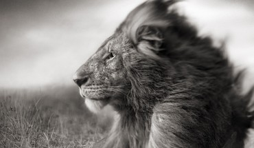 Grayscale lions HD wallpaper