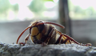 Animals insects macro hornets HD wallpaper