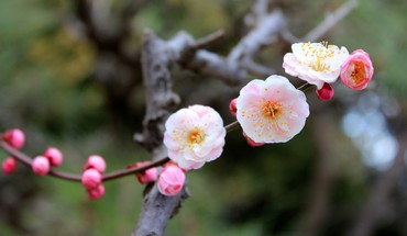 Blossoming apple tree HD wallpaper