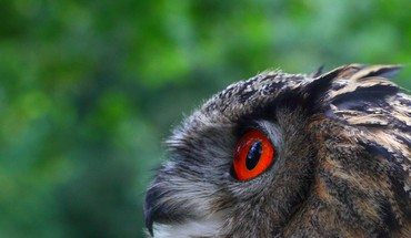 Birds red eyes owls HD wallpaper