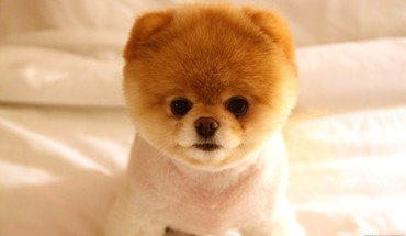 Animals dogs pets pomeranian boo HD wallpaper