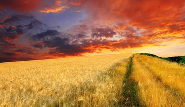 Endless wheat field at sunset HD wallpaper
