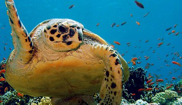 Ocean animaux tortues  HD wallpaper