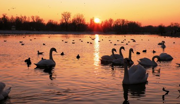 Birds landscapes swans water wildlife HD wallpaper