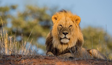 Animaux Lions  HD wallpaper