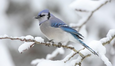 Blue jay birds snow winter HD wallpaper