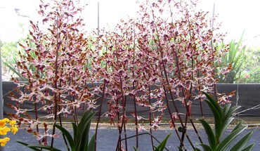 Slim elongated orchids HD wallpaper