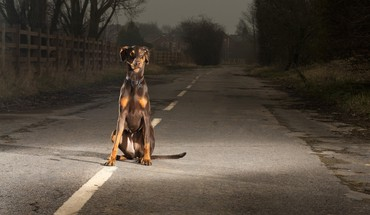 Doberman pinscher dogs roads HD wallpaper