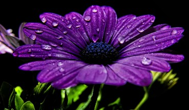 Flowers water drops black background purple HD wallpaper