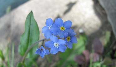 England forgetmenots blue flowers multicolor HD wallpaper