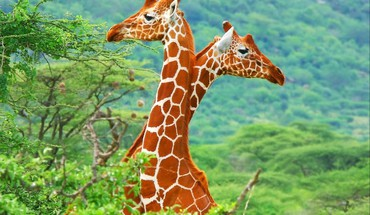 Two giraffes HD wallpaper