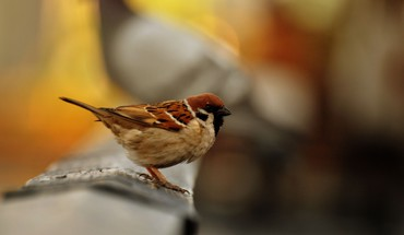 Birds sparrow depth of field blurred background HD wallpaper
