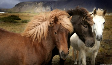 Animals black horses white horse HD wallpaper