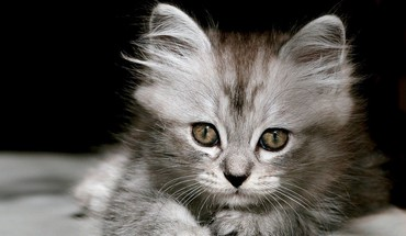Animaux chats chatons gris nature  HD wallpaper