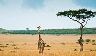 Animals giraffes lonely HD wallpaper
