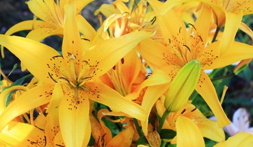 Flowers lilies yellow HD wallpaper