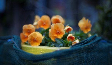Flowers orange pansies HD wallpaper