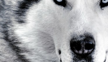 Siberian husky animals dogs huskies HD wallpaper