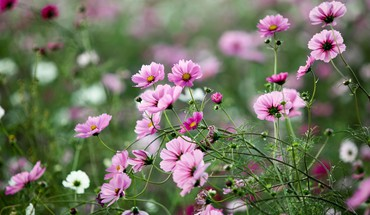 Cosmos flower flowers landscapes macro nature HD wallpaper