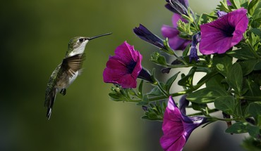 Flowers birds hummingbirds purple HD wallpaper