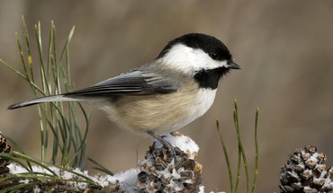 Chickadee birds nature white HD wallpaper