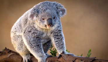 Animals bears gray koalas nature HD wallpaper