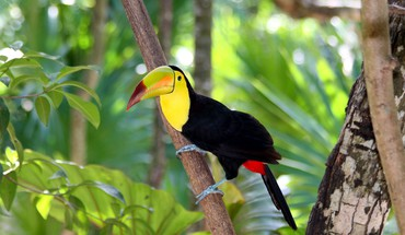 Toucans oiseaux de la nature  HD wallpaper
