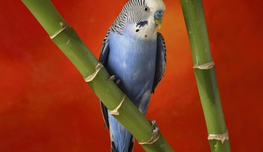 Birds animals bamboo parakeets budgerigar HD wallpaper