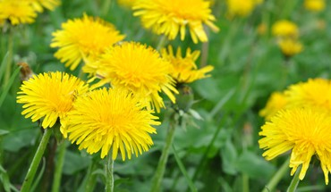 Dandelions flowers grass green nature HD wallpaper